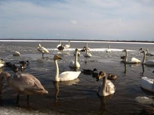 100221_ウトナイ湖20090125の様子