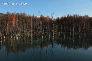 121111_美瑛青い池全景