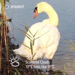 2015/09/27/ウトナイ湖にて白鳥